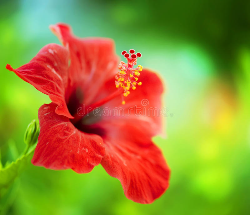 Fiore dell'ibisco fotografia stock