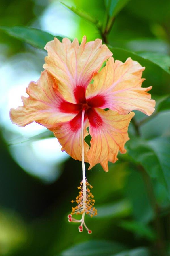 Fiore dell'ibisco fotografie stock libere da diritti