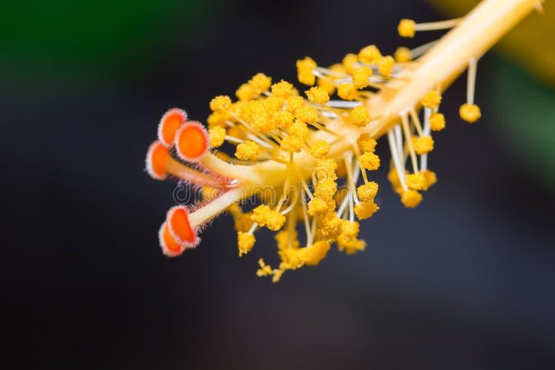 Fiore dell'ibisco che mostra i dettagli del polline vicino su fotografia stock
