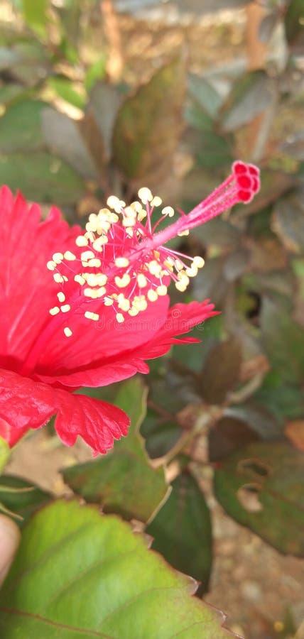 Fiore dell'ibisco in tamilnadu, India, Coimbatore fotografia stock