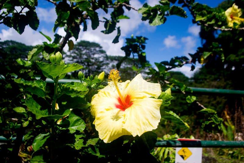 Fiore dell'ibisco un giorno soleggiato fotografia stock