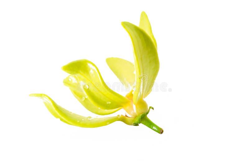 Fiore dell'ilang-ilang fotografia stock libera da diritti
