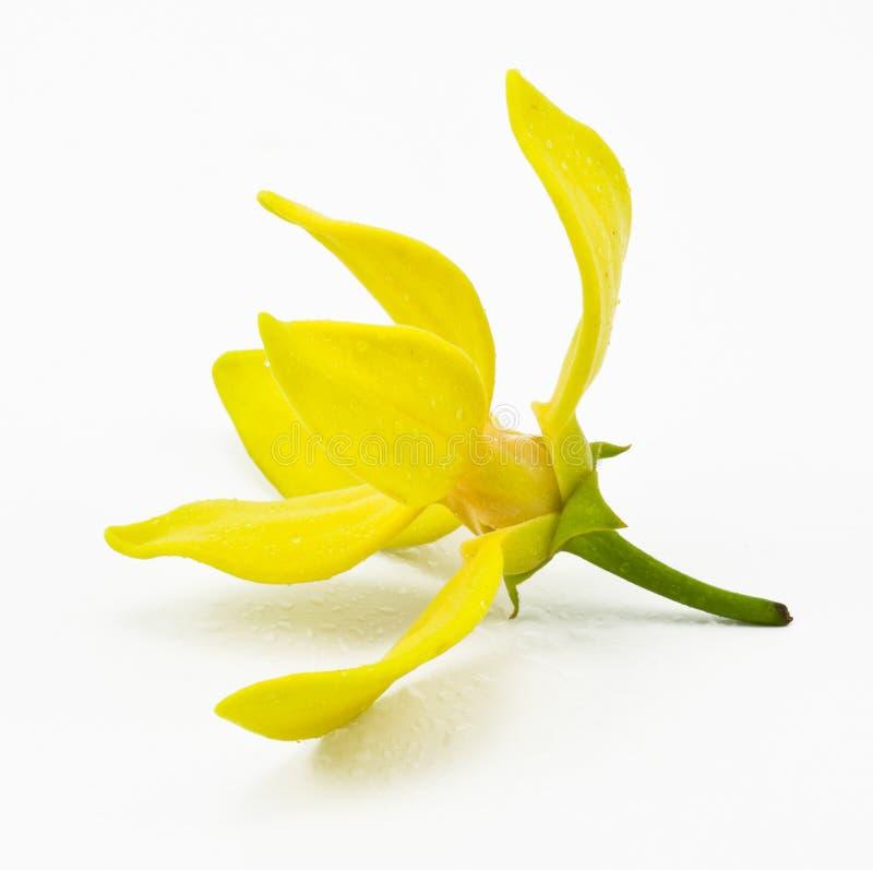 Fiore dell'ilang-ilang   immagini stock