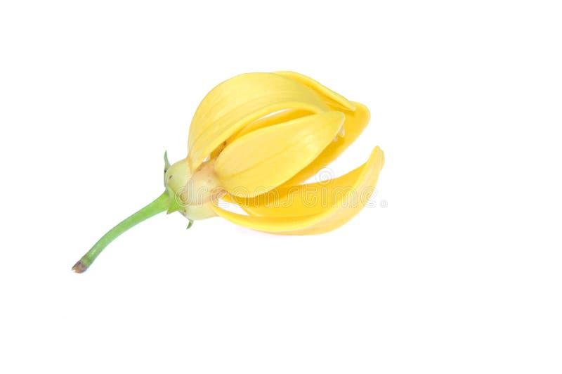 Fiore dell'ilang-ilang fotografia stock