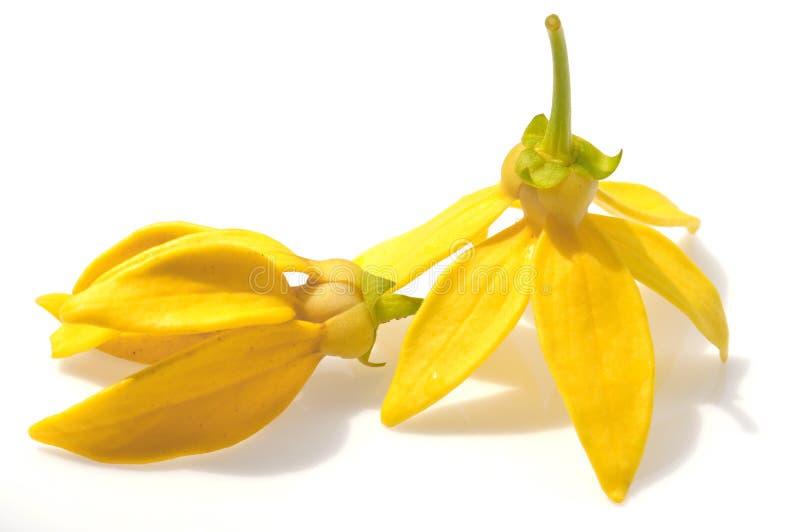Fiore dell'ilang-ilang fotografie stock