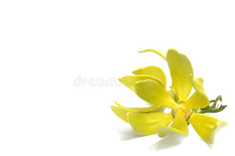 Fiore dell'ilang-ilang immagine stock