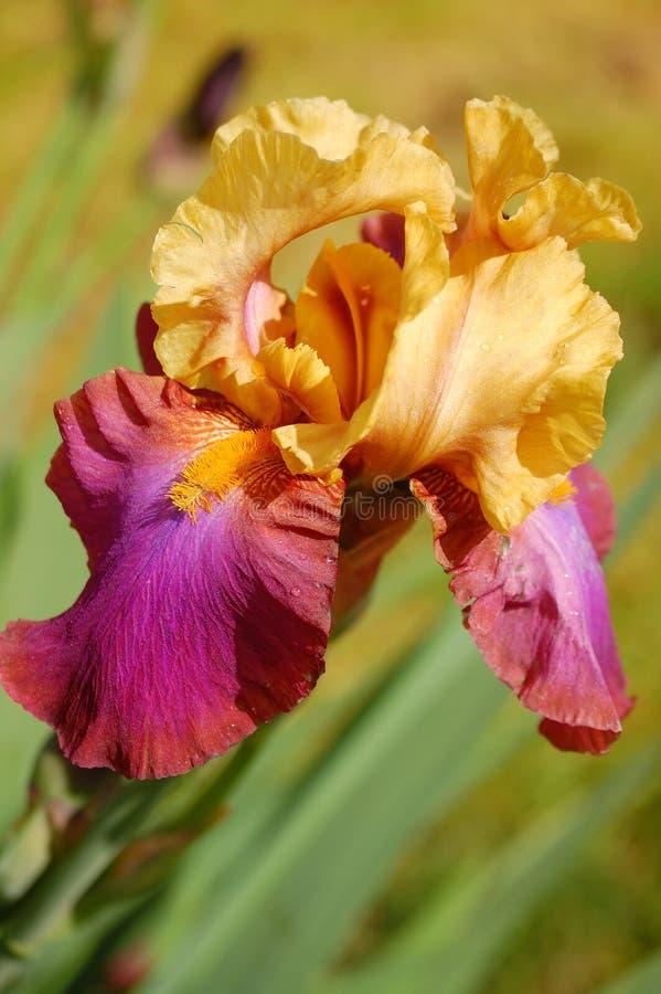 Fiore dell'iride fotografia stock libera da diritti