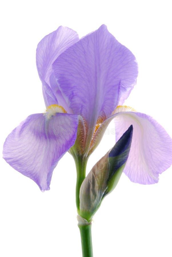 Fiore dell'iride fotografie stock