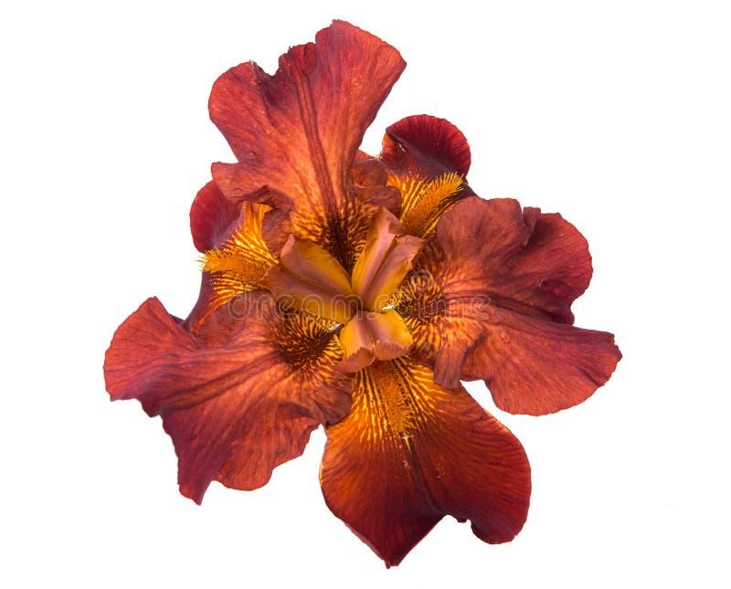 Fiore dell'iride isolato immagini stock