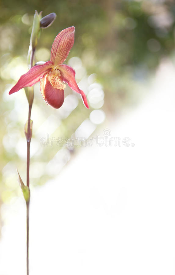 Download Fiore dell'orchidea immagine stock. Immagine di india - 30831013