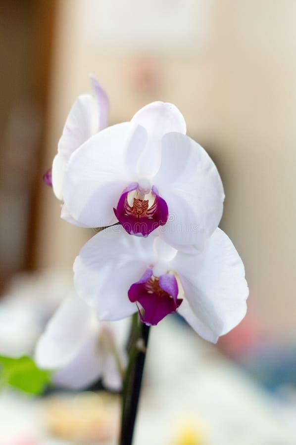 Fiore dell'orchidea con il fondo della sfuocatura immagini stock libere da diritti