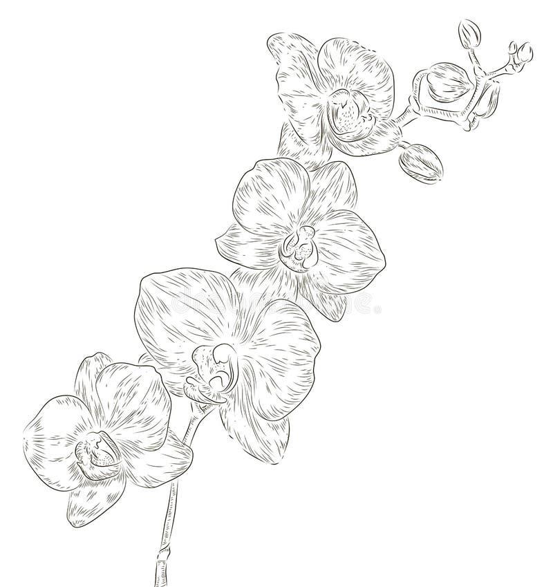 Fiore dell'orchidea del disegno della mano illustrazione vettoriale