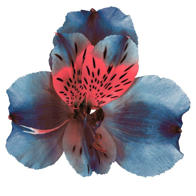 Fiore dell'orchidea di marrone blu di rosa di ceruleo del giardino isolato su fondo bianco Primo piano immagini stock libere da diritti
