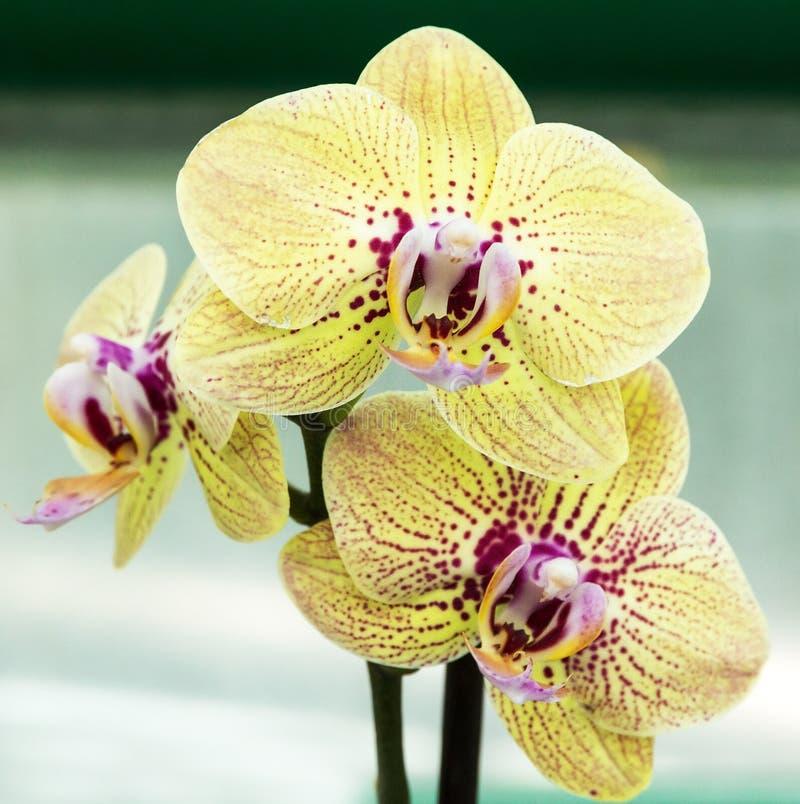 Fiore dell'orchidea di vaniglia fotografia stock