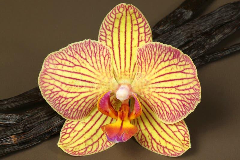 Fiore dell'orchidea e baccelli di vaniglia immagine stock
