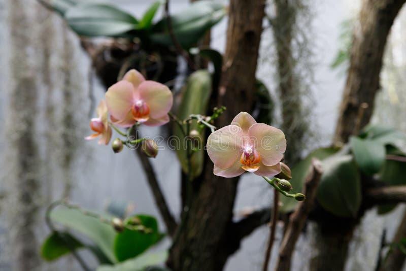 Fiore dell'orchidea in giardino al giorno della primavera o di inverno per progettazione di massima di bellezza della cartolina e fotografia stock