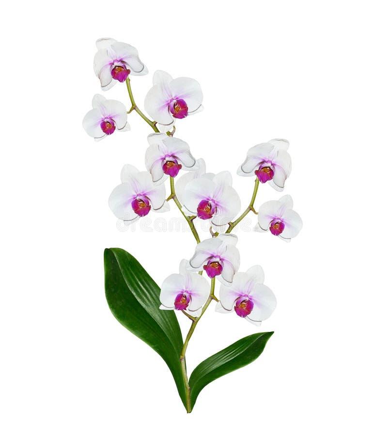 Fiore dell'orchidea isolato immagine stock