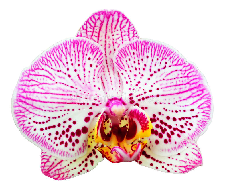 Fiore dell'orchidea isolato fotografie stock libere da diritti