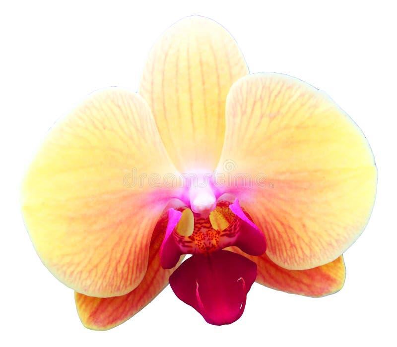 Fiore dell'orchidea isolato fotografia stock libera da diritti