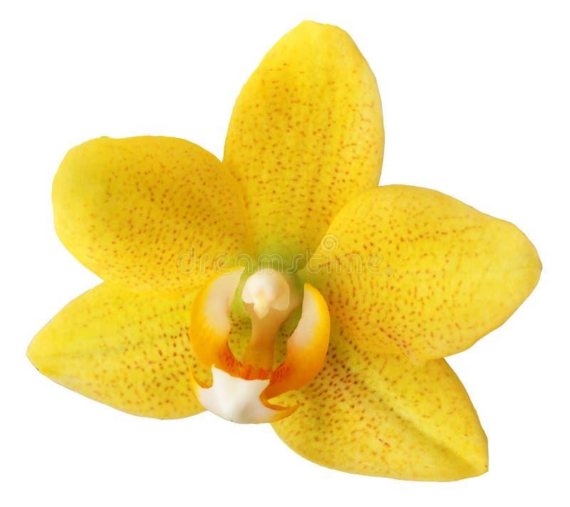 Fiore dell'orchidea isolato immagini stock