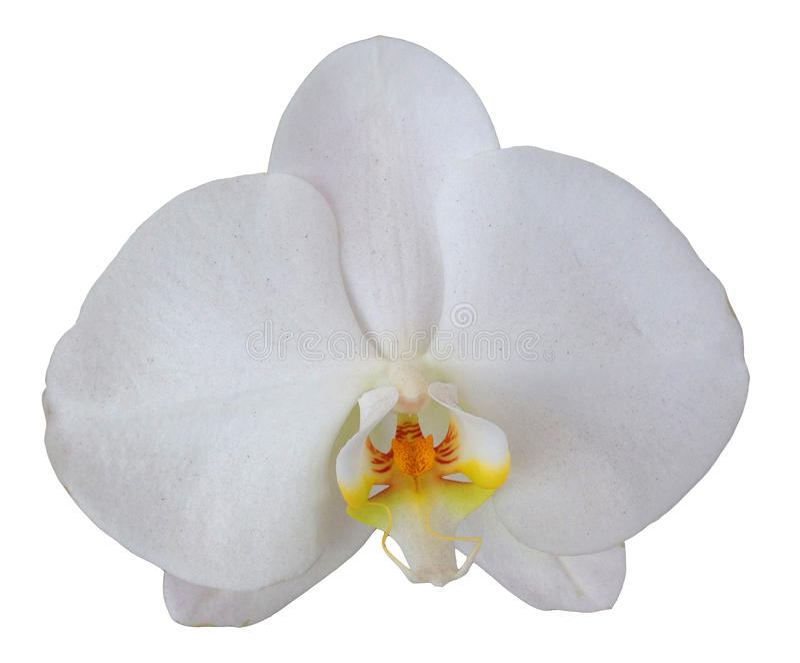 Fiore dell'orchidea isolato fotografia stock