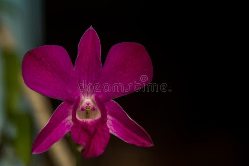 Fiore dell'orchidea nella fine tropicale del giardino su Priorità bassa floreale fotografie stock