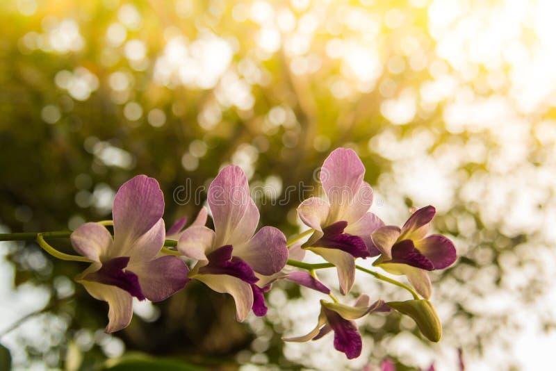 Fiore dell'orchidea nella fine tropicale del giardino su Priorità bassa floreale immagini stock libere da diritti