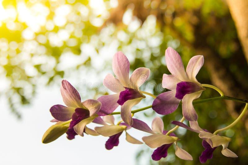 Fiore dell'orchidea nella fine tropicale del giardino su Priorità bassa floreale fotografia stock