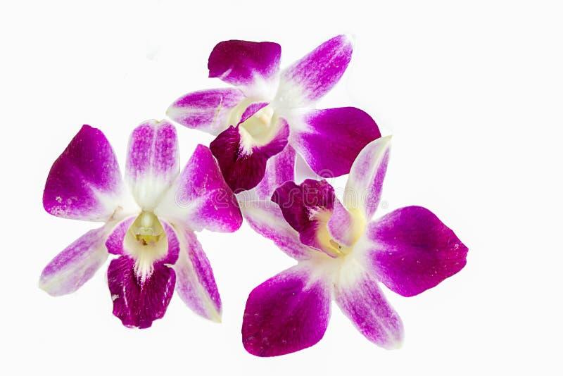 Fiore dell'orchidea su priorità bassa bianca fotografia stock libera da diritti