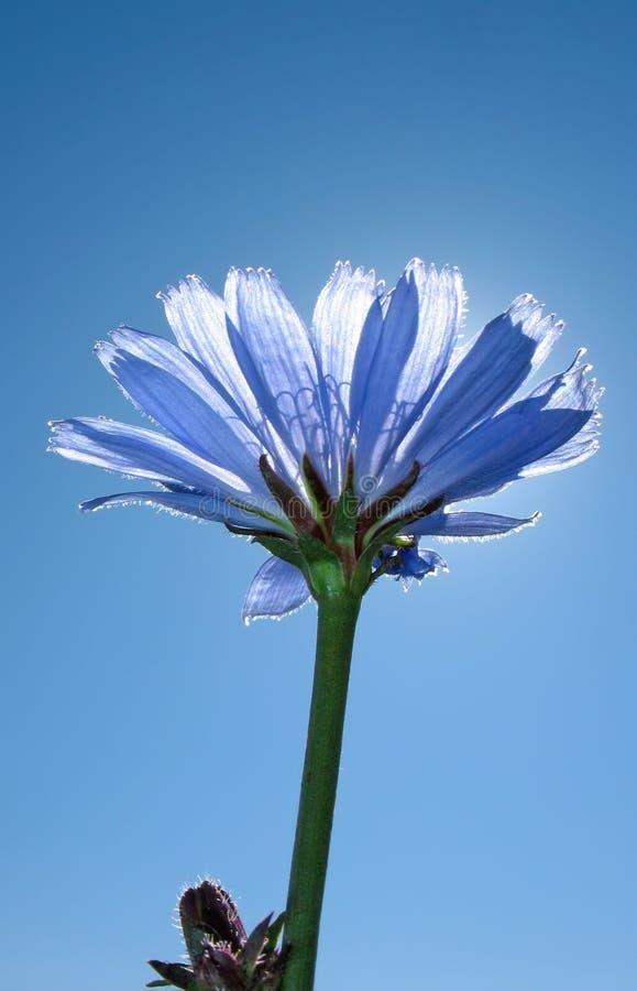 Fiore dell'ordinario della cicoria. Fiore blu scuro. immagini stock