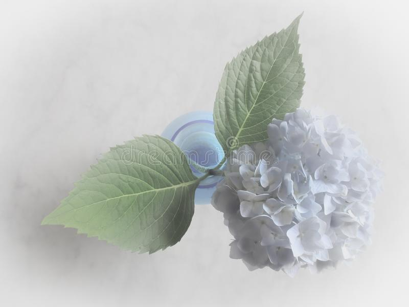 Fiore dell'ortensia in poco vaso immagini stock