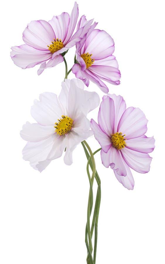 Download Fiore dell'universo fotografia stock. Immagine di verde - 30830738