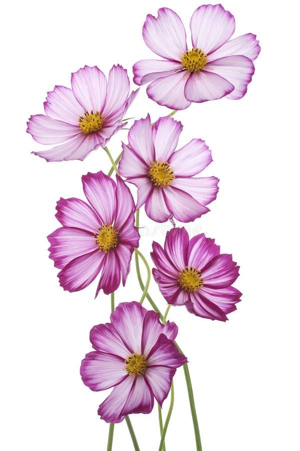 Download Fiore dell'universo immagine stock. Immagine di mazzo - 30830787