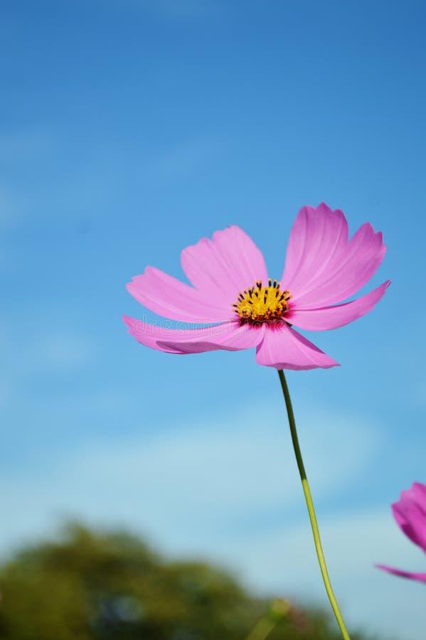 Fiore dell'universo immagine stock