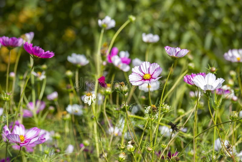 Fiore dell'universo (cosmos bipinnatus) immagine stock