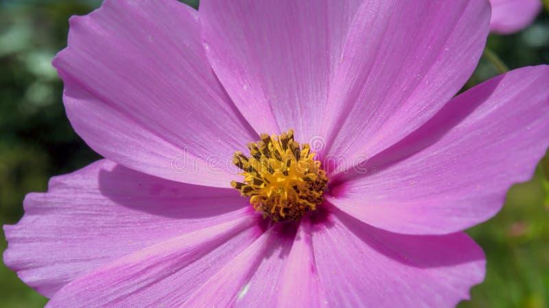 Fiore dell'universo del giardino dalla parte anteriore fotografia stock libera da diritti