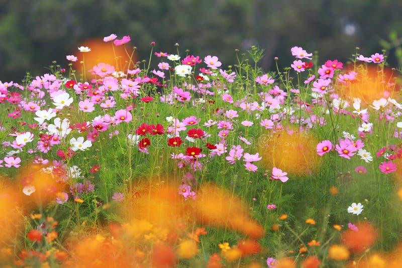 Fiore dell'universo nel campo immagine stock