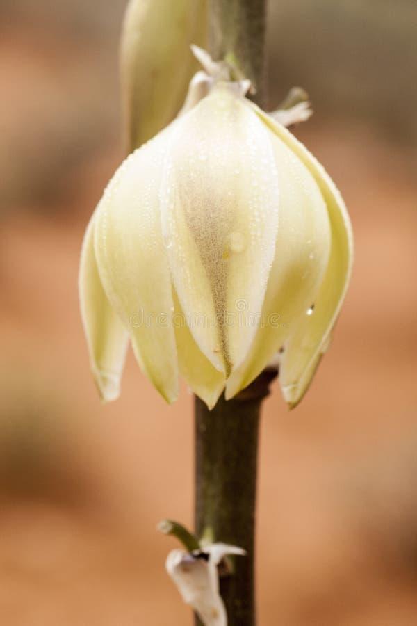 Fiore dell'yucca fotografia stock