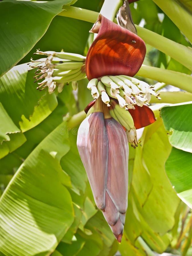 Fiore della banana Cultivated in Tailandia immagini stock libere da diritti