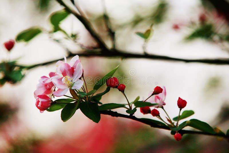 fiore della begonia immagine stock