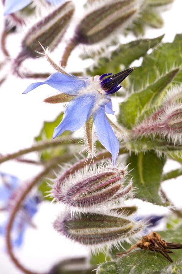 Fiore della borragine fotografia stock libera da diritti