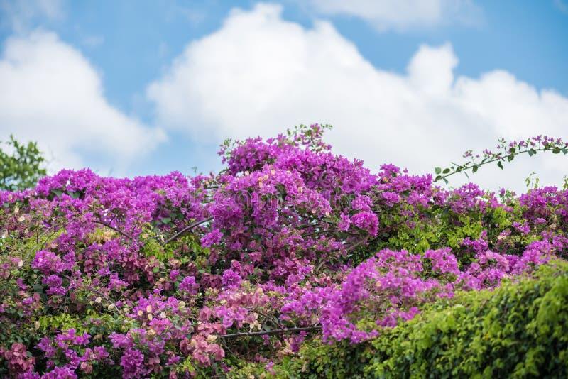 Fiore della buganvillea con la foglia verde fotografia stock