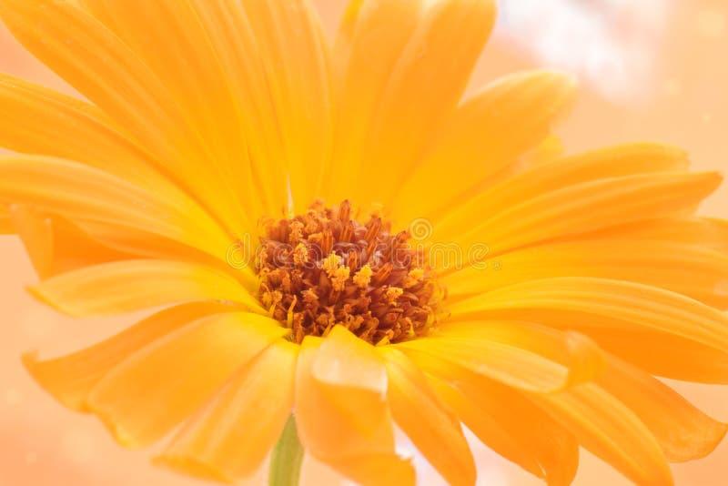 Fiore della calendula chiuso sul bello fondo della natura fotografia stock libera da diritti