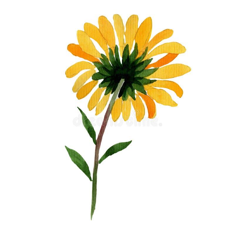 Fiore della camomilla gialla del Wildflower in uno stile dell'acquerello isolato royalty illustrazione gratis