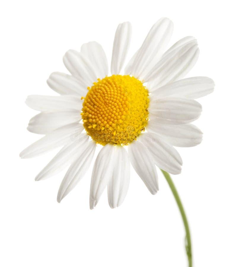 Fiore della camomilla isolato fotografia stock libera da diritti