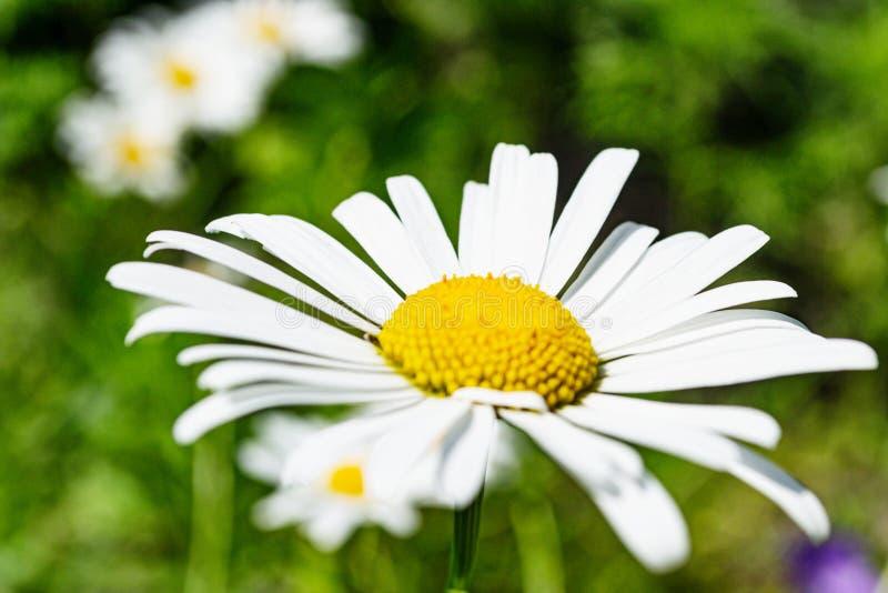 Fiore della camomilla su fondo vago summertime fotografie stock libere da diritti