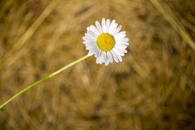 Fiore della camomilla su un fondo astratto vago di colore marrone immagini stock