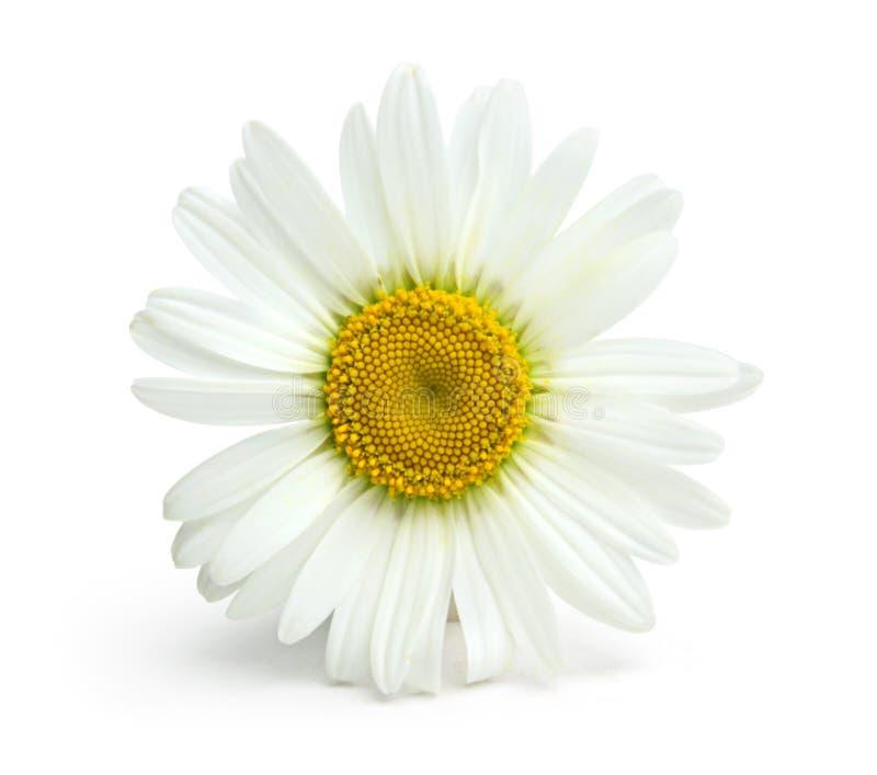 Fiore della camomilla su una priorità bassa bianca fotografie stock libere da diritti