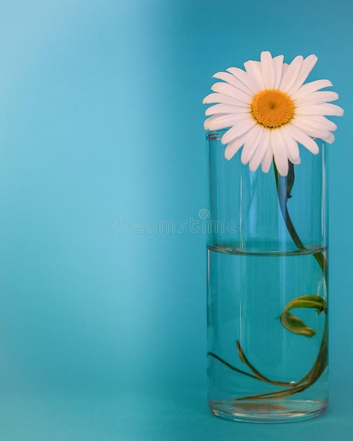 Fiore della camomilla in un bicchiere d'acqua A sinistra è una sezione alleggerita per le iscrizioni immagini stock