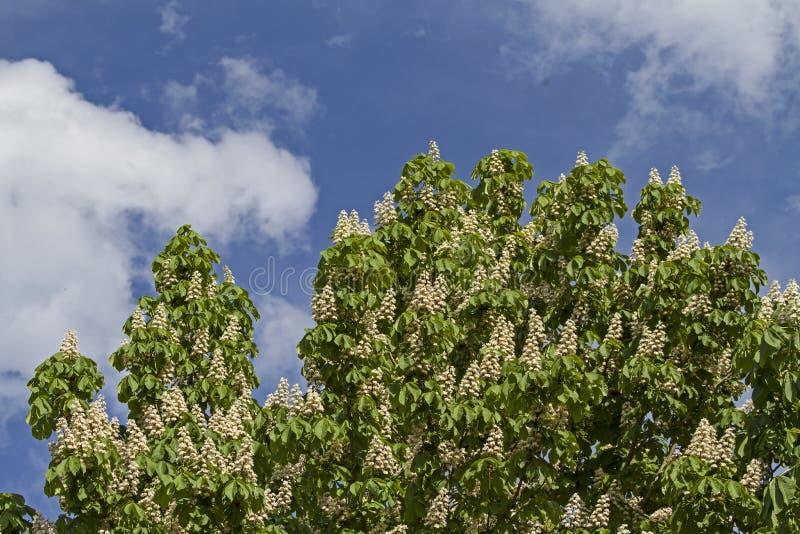 Download Fiore della castagna fotografia stock. Immagine di loto - 56878070